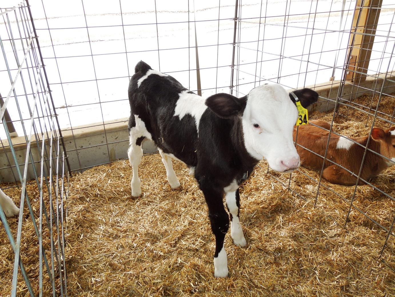 calves-053
