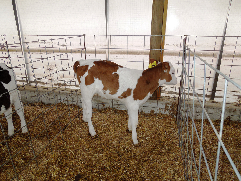 calves-054