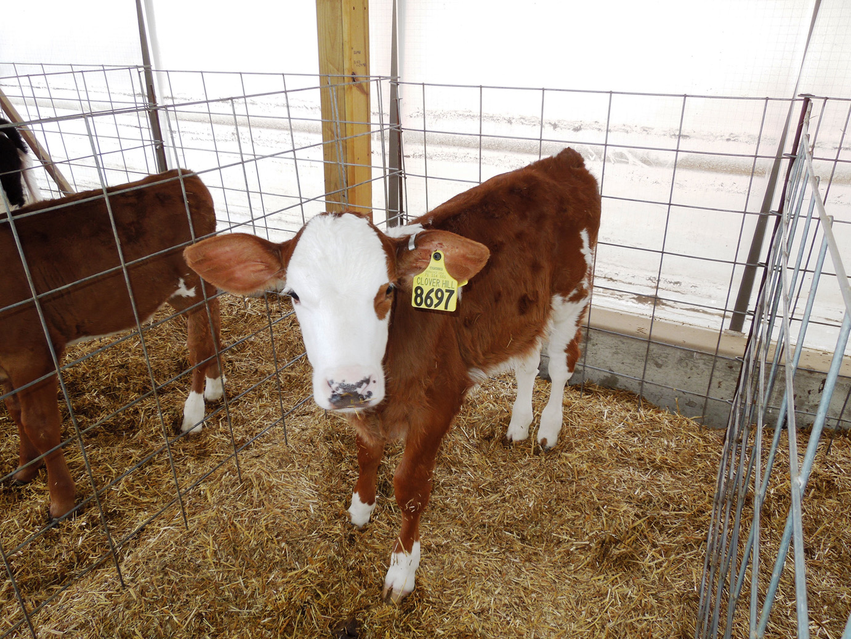 calves-055
