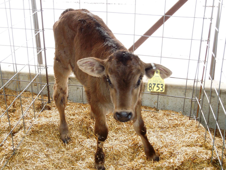 calves-056