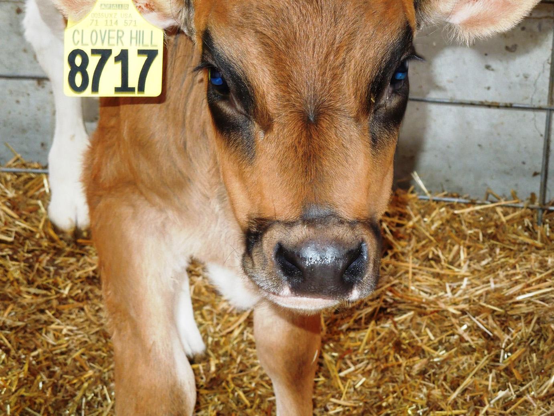 calves-062