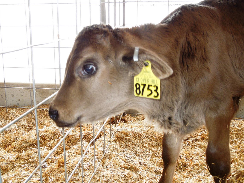 calves-066