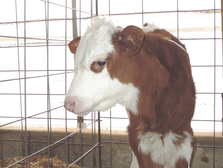 calves-069