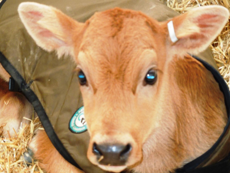 calves-075