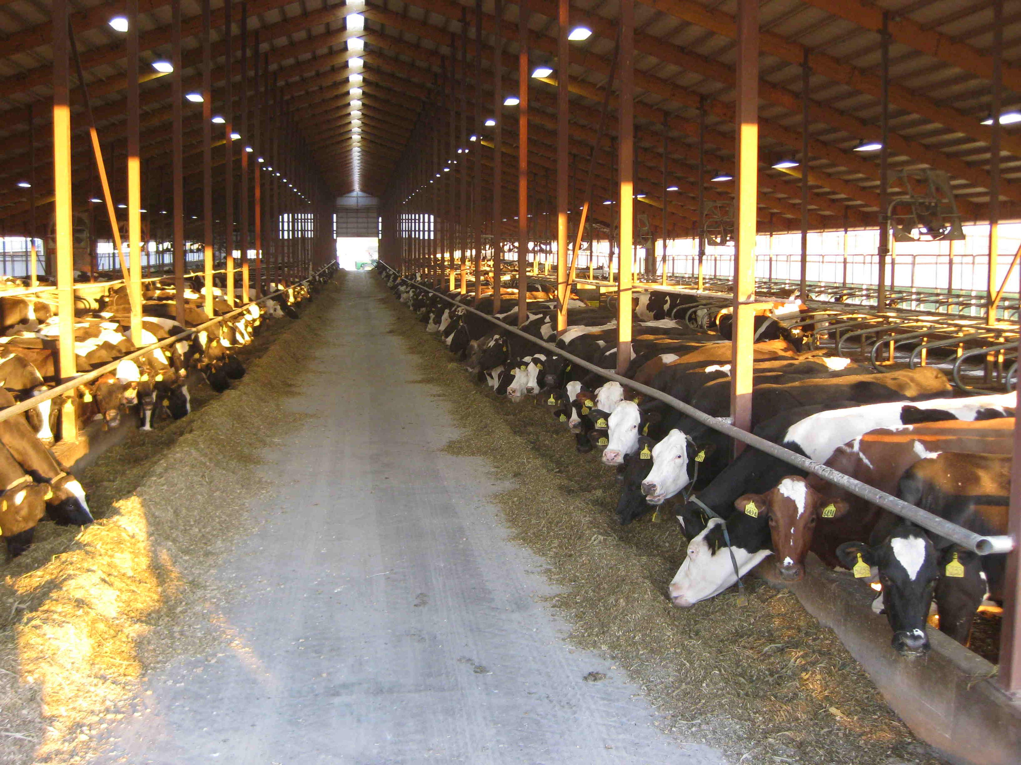 cows-129