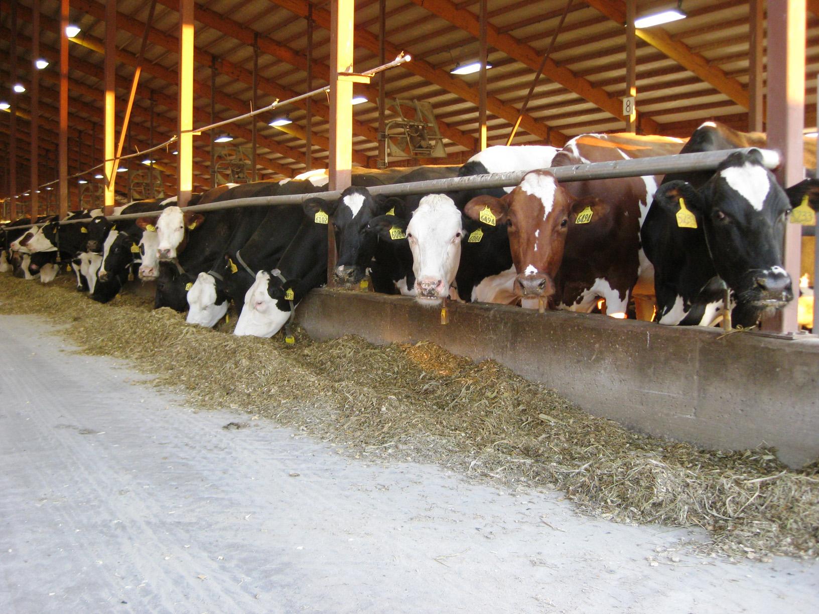 cows-156